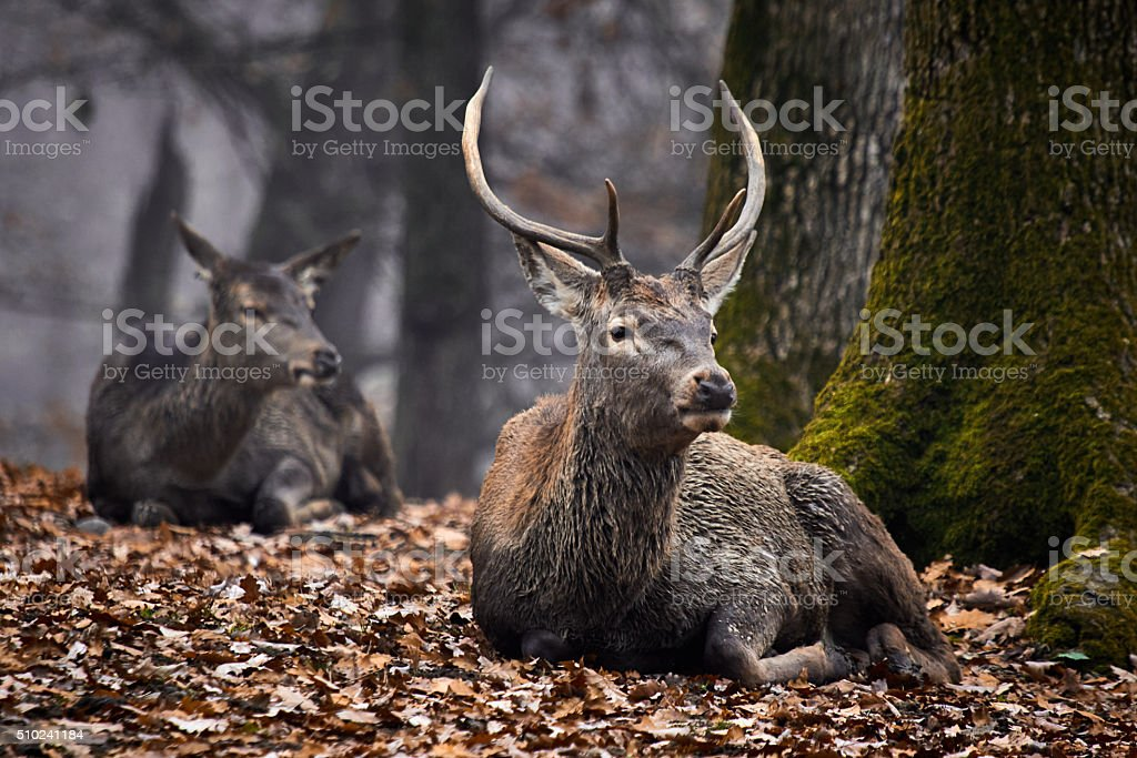 Buck deer stag stock photo