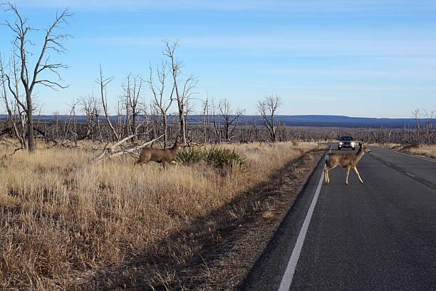 Buck Deer caminhadas na estrada - foto de acervo
