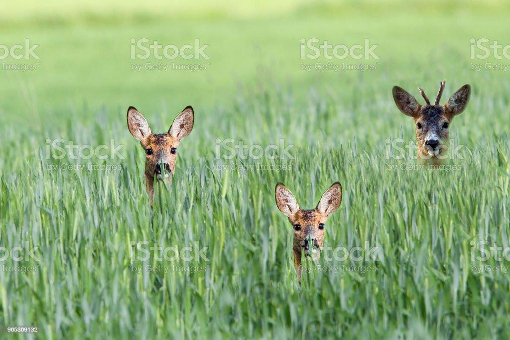 Buck deer with roe-deers in a clearing zbiór zdjęć royalty-free