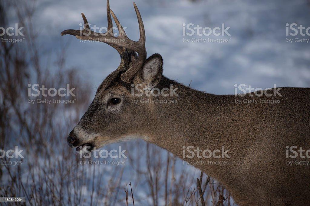 Buck gazing stock photo
