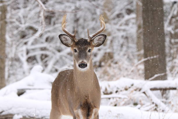 Buck in snowy forest. stock photo