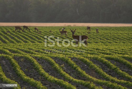 Whitetail buck and other deer in the soy beans