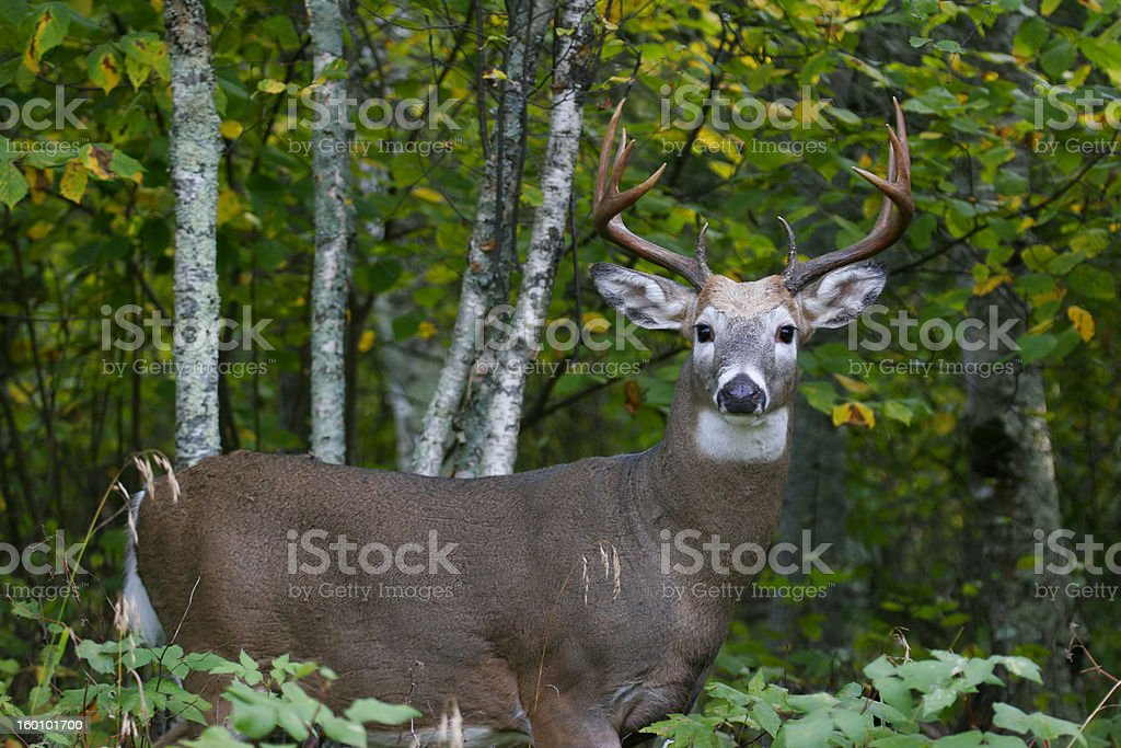 buck stock photo
