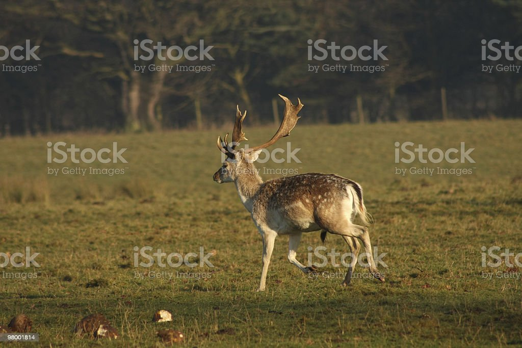 Buck royalty-free stock photo