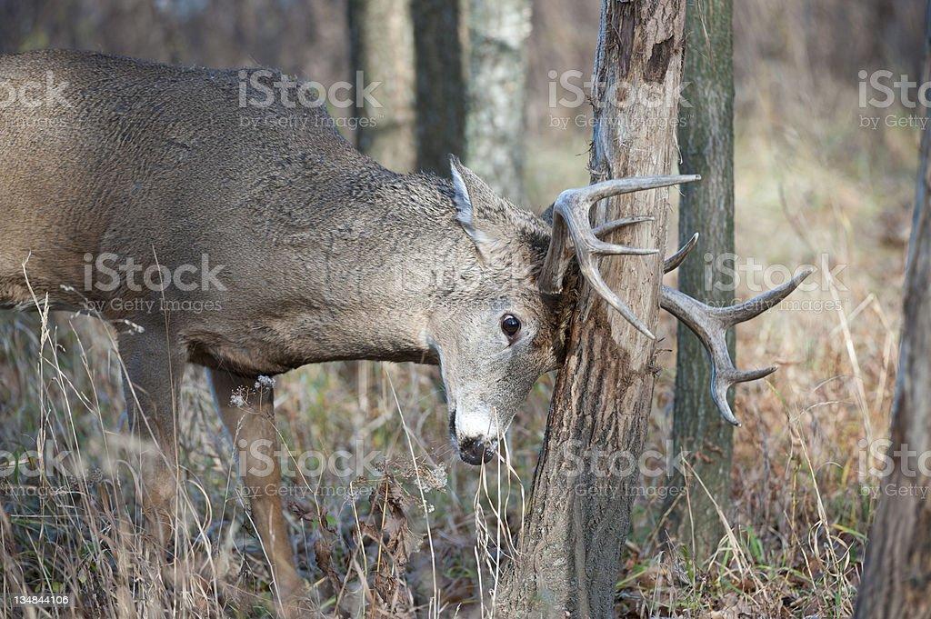 Buck Rub royalty-free stock photo