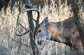 Buck rub