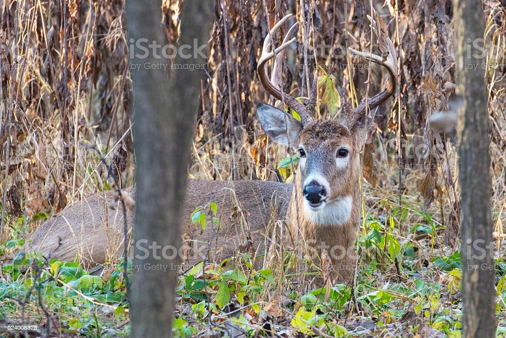Buck Sitting stock photo