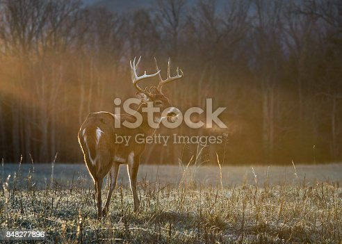 A buck standing in the warm morning sun on a cold morning