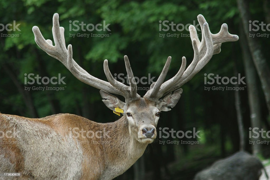 Buck with Tag on Ear stock photo