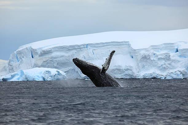 Cтоковое фото Buckelwal в der Antarktis