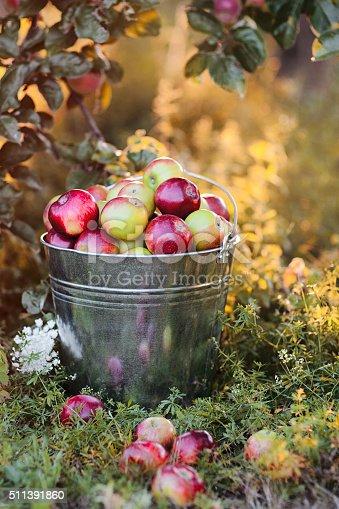 istock bucket full of ripe apples in sunset 511391860