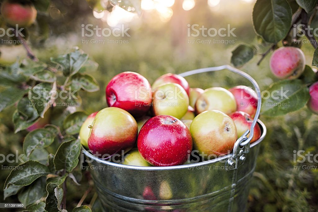bucket full of ripe apples in sunset stock photo