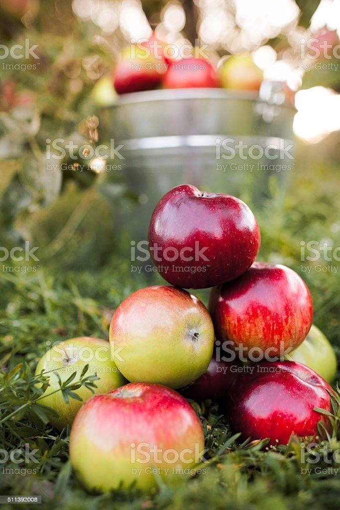 bucket full of ripe apples in sunset stock photo