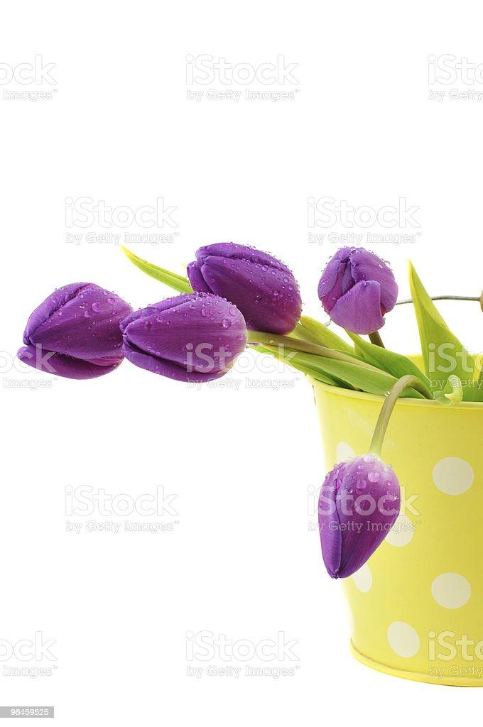 Bucket of Wet Tulips royalty-free stock photo