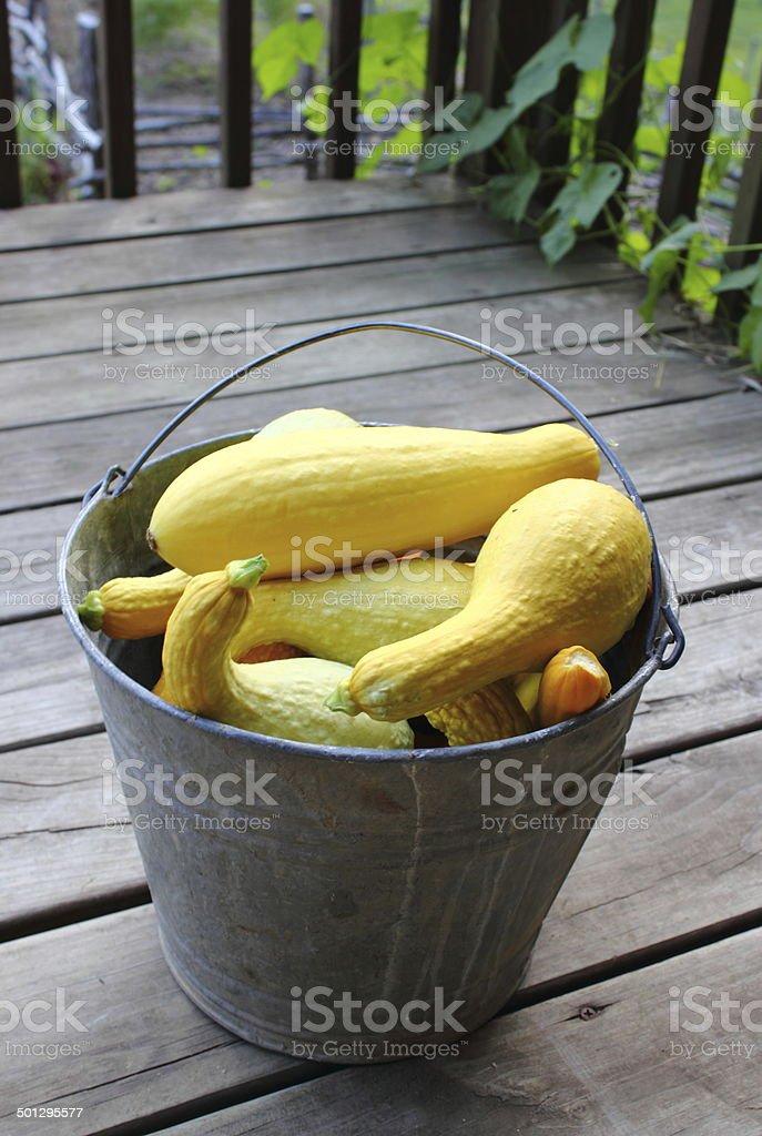 Bucket of Yellow Squash stock photo