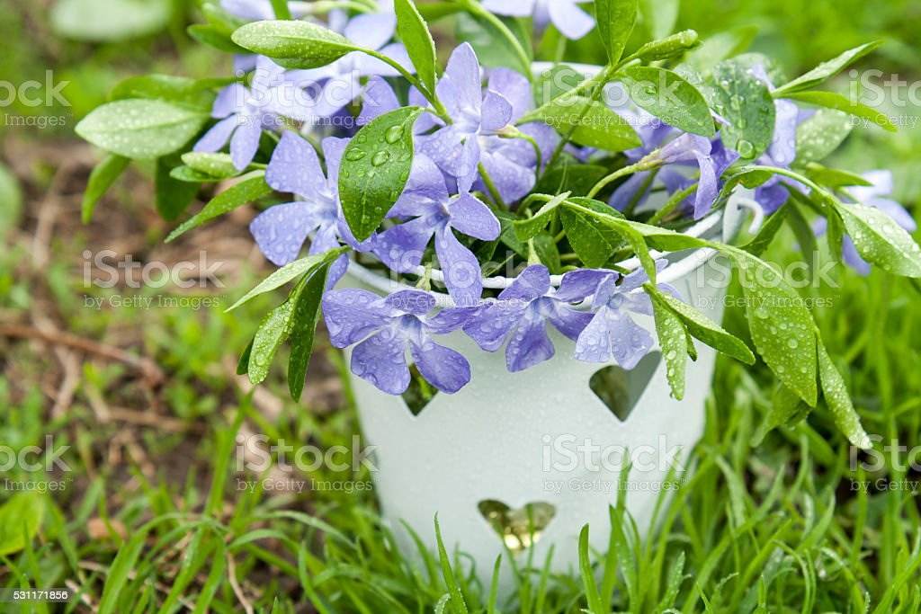 Bucket with beautiful blue periwinkle and green shoots royalty-free stock photo