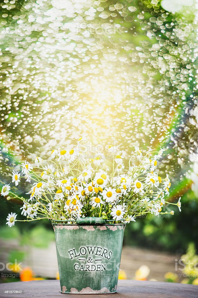 bucket with daisies flowers on garden table over water spraying stock photo