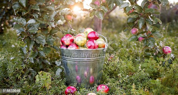 istock Bucket with ripe apples in sunset garden 518833646
