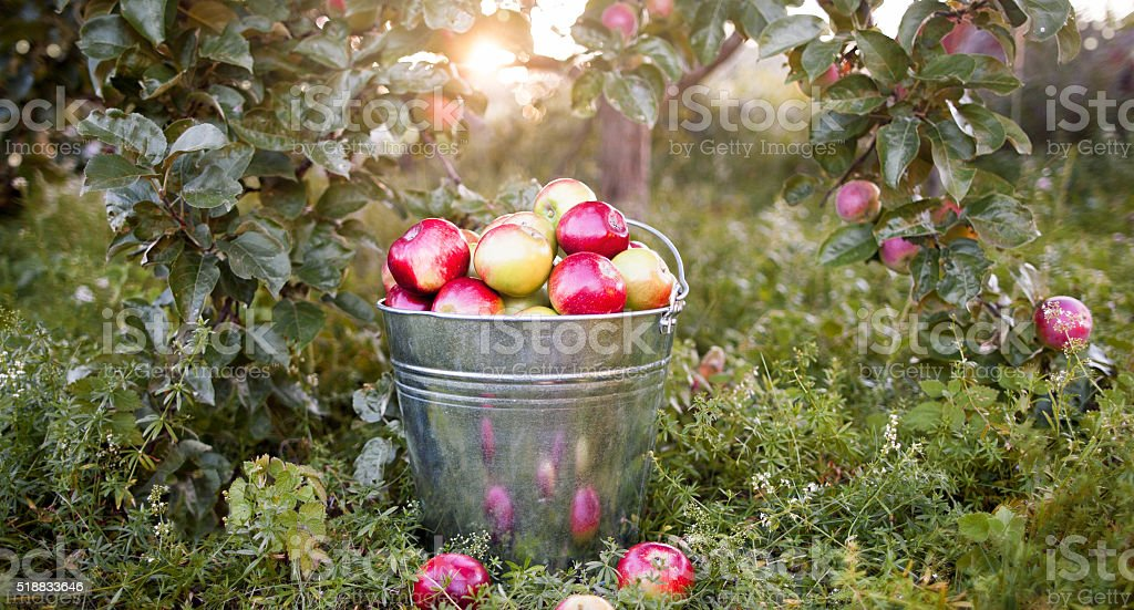 Bucket with ripe apples in sunset garden stock photo