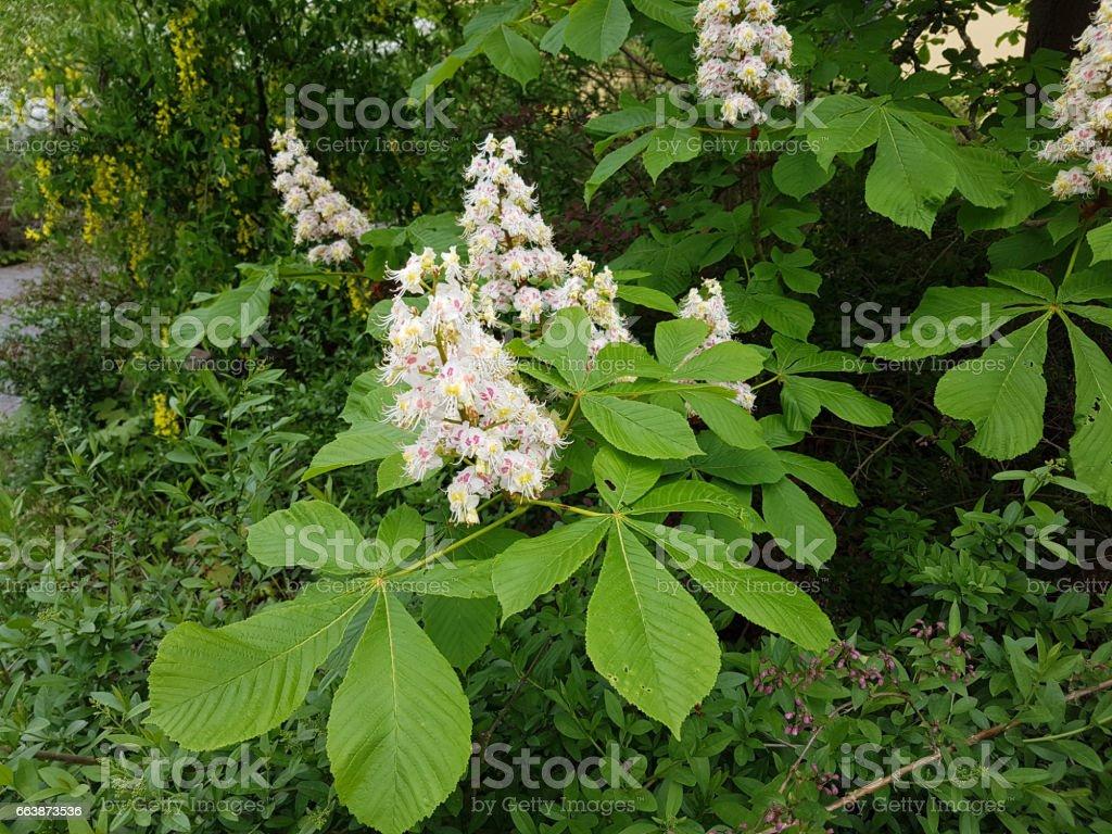 Buckeye; Aesculus hippocastanum stock photo