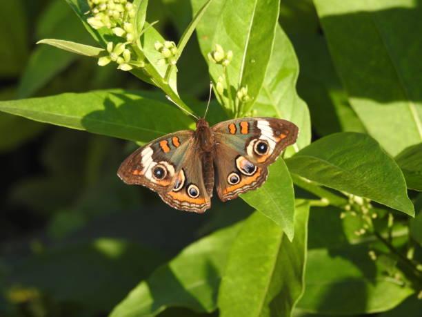 Buckeye butterfly on green leaf 2 stock photo