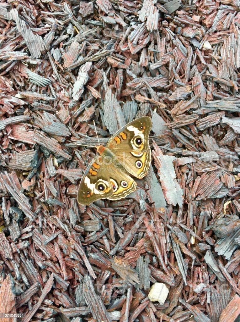 Buckeye butterfly on rubber mulch stock photo