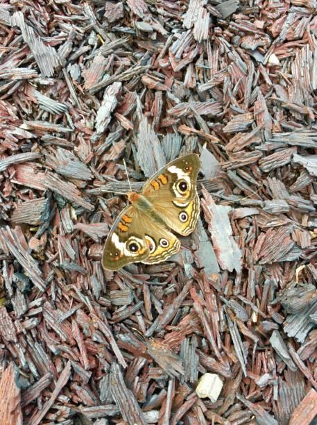 buckeye schmetterling auf kautschuk mulch - gummimulch stock-fotos und bilder