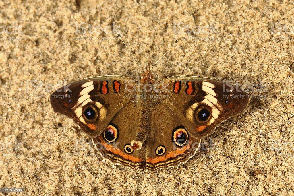 Buckeye Butterfly royalty-free stock photo