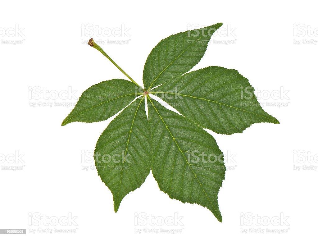 buckeye leaf stock photo