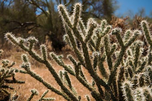 istock Buckhorn Cholla (Cylindropuntia acanthocarpa) 873397128