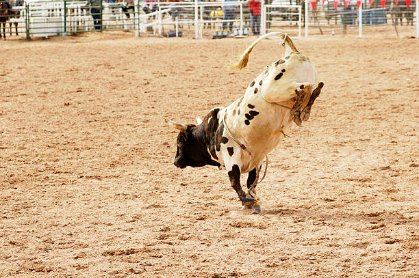 bucking bull 1 stock photo