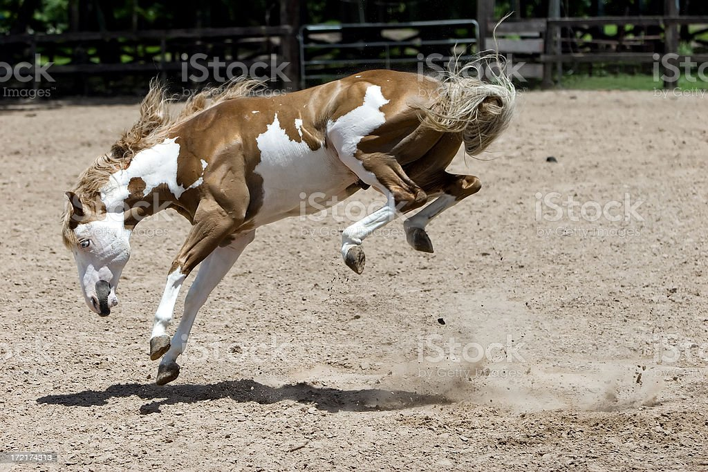 Bucking Horse with All 4 Feet in the Air stock photo