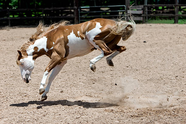 Bucking Horse with All 4 Feet in the Air