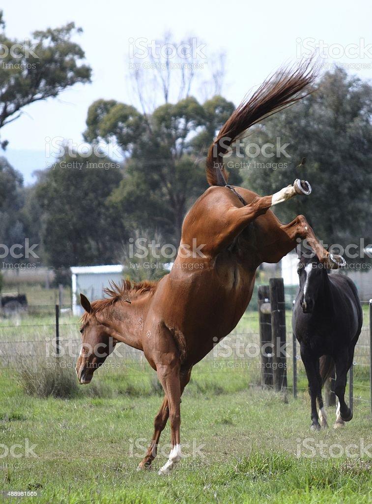 bucking mare stock photo