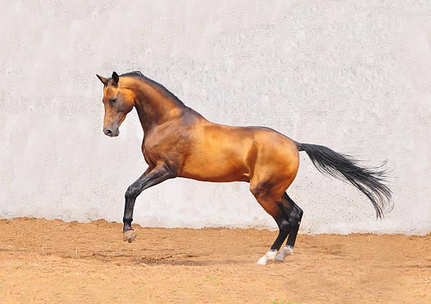 buckskin akhal-teke pferd in bewegung - akhal teke stock-fotos und bilder