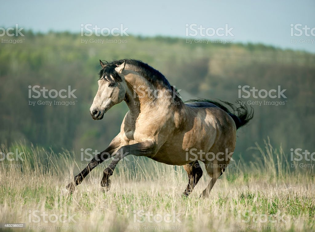 buckskin authentic baroque lusitano horse galloping through srin stock photo