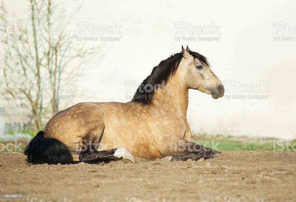 Buckskin lusitano stallion lying on a sand stock photo
