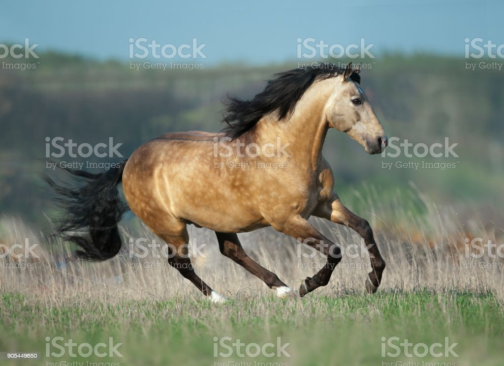 buckskin lusitano stallion runs free in spring field stock photo
