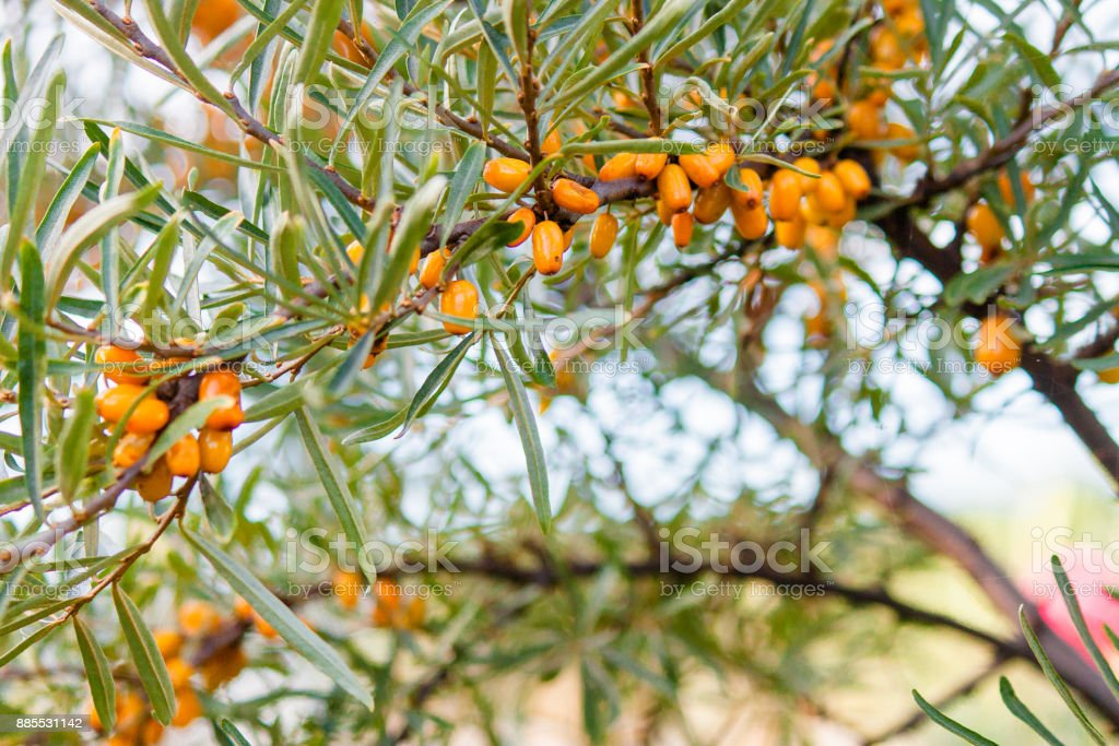 buckthorn garden beautiful bright yellow autumn on a tree branch in the garden stock photo