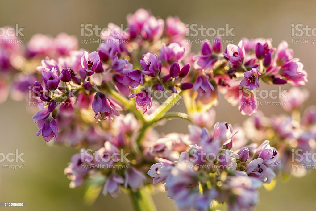 Buckwheat field in Blossom stock photo