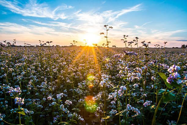buckwheat field in sunlight - boekweit stockfoto's en -beelden