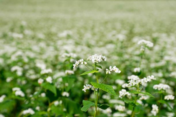 boekweit veld over rijst veld - boekweit stockfoto's en -beelden