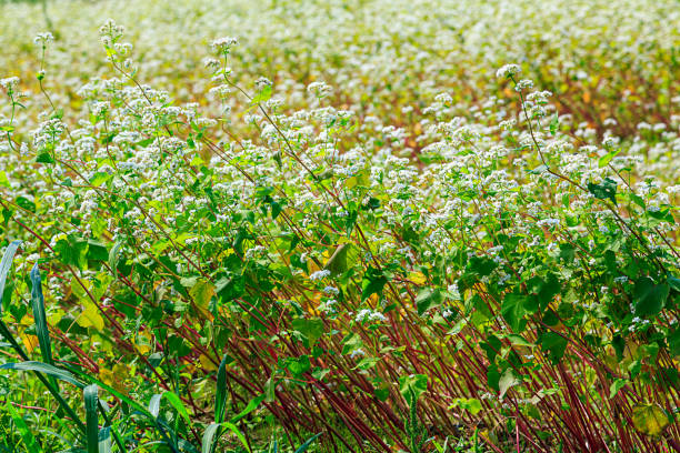 畑のそばの花 - 熟した ストックフォトと画像