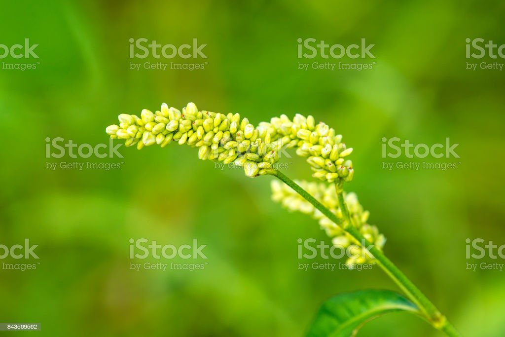buckwheat, flower with green background stock photo