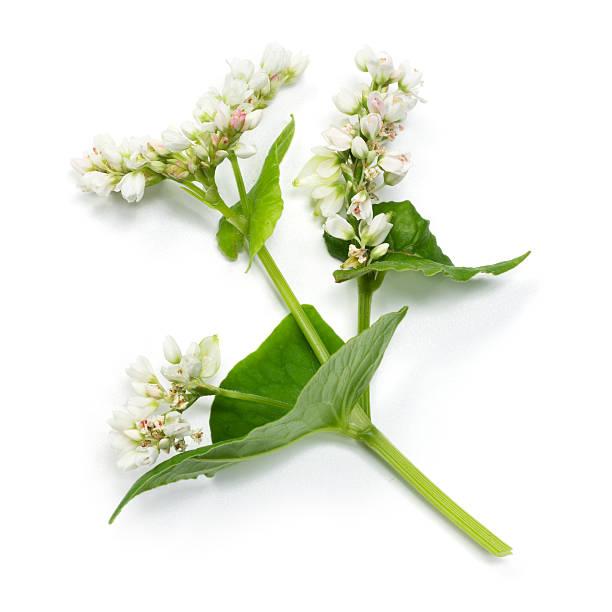 buckwheat flowers isolated on white background - boekweit stockfoto's en -beelden
