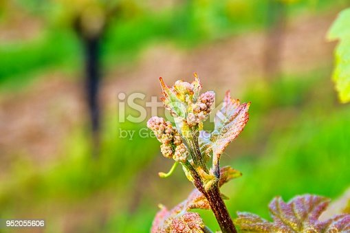 Bud break of grapevine on green backgound. Vineyard in spring. Close-up. Viniculture and winery concept.