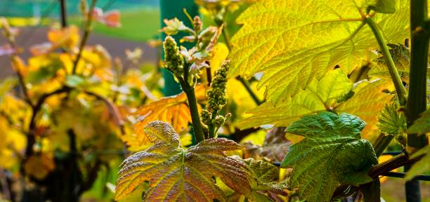 Bud break of grapevine on green backgound. Vineyard in spring. Close-up. Viniculture and winery concept stock photo