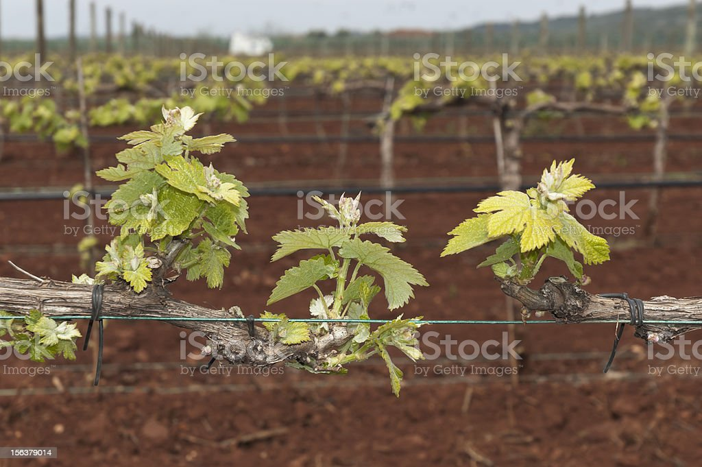 Bud break royalty-free stock photo