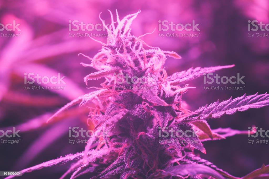 Cultivées À La Croissante Lumière Sous Médicale Cannabis Le Concept Droit Led Lampes De Libre Artificielle Bud Des Marijuana Photo wX8nOPk0