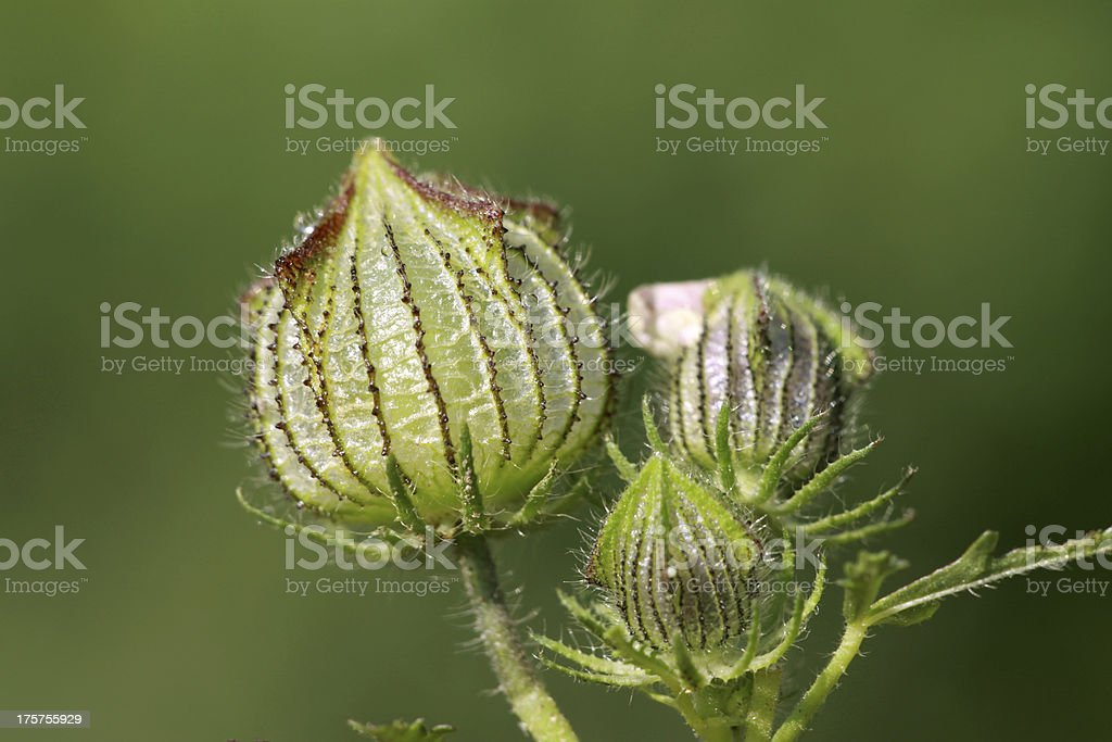 bud in the wild royalty-free stock photo